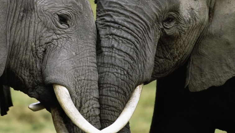 bb8c728dd Ivory trafficking  Three massive cartels exposed by elephant tusk DNA  testing